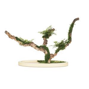 plante ornementale stabilisée / bonsaï